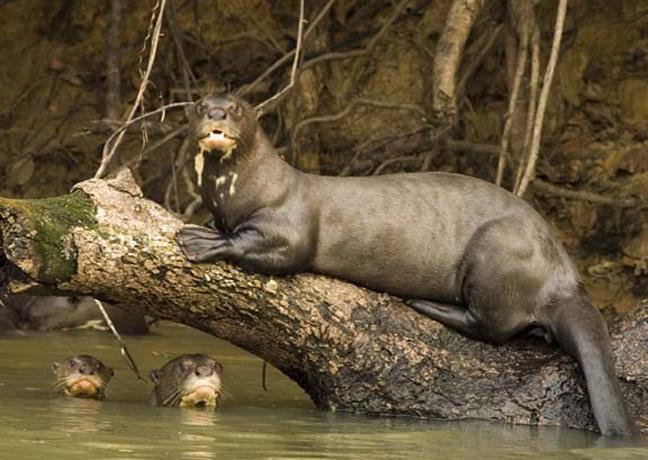 ζώα Αμαζόνιος άγρια ζώα