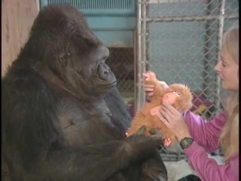 gorilas maimoudaki