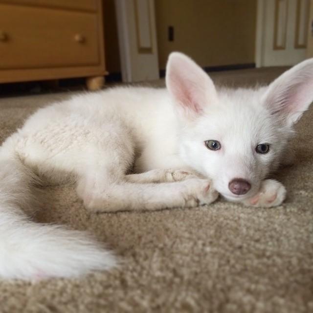 αλεπουδάκι αλεπού